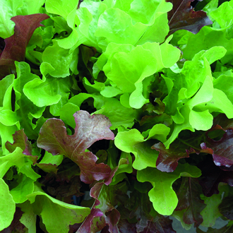 Lettuce Red & Green Salad Bowl Mixed (ORGANIC)