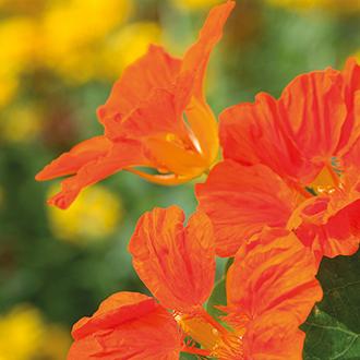 Nasturtium Whirlybird Tangerine