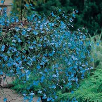 Lobelia Trailing Blue Cascadejohnsons Seeds Flower Seeds