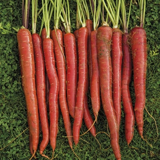 Carrot Malbec F1
