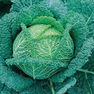 Cabbage (Savoy) Vertus