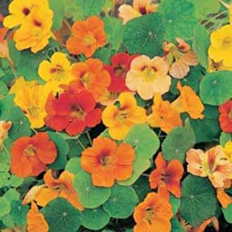 Nasturtium Whirlybird Mixed