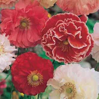 Poppy Shirley Double Mixed
