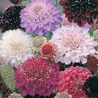 Scabious Tall Double Mixed