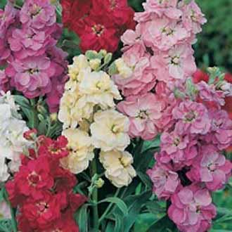 Stock ten week mixedjohnsons seeds flower seeds stock ten week mixed mightylinksfo