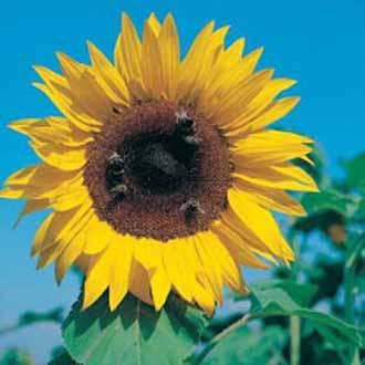 Sunflower Giant Single Mixed