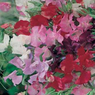 Sweet Pea Royal Mixed