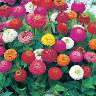 Zinnia Sprite Mixed