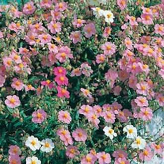 Rock Rose Mixed - Helianthemum
