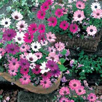 Osteospermum Daisy Mae