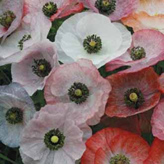 Poppy Mother of Pearl