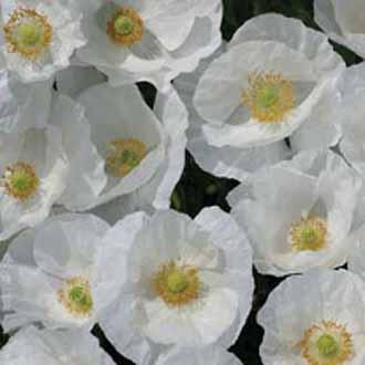 Poppy Bridal Silk