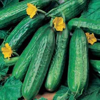 Cucumber Emilie F1