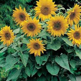 Sunflower Pacino Gold