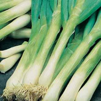 Onion (Spring) Feast F1