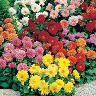 Dahlia Figaro Mixed