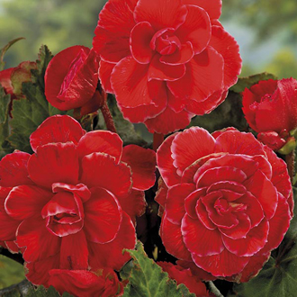 Begonia Picotee Lace Red