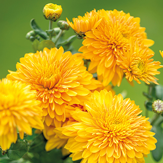 Chrysanthemum Gompie Bronze