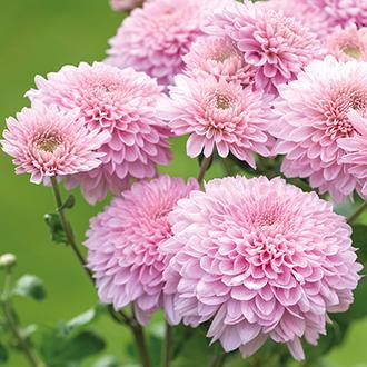 Chrysanthemum Gompie Pink