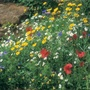 Wildflower Cornfield Mixture Seeds