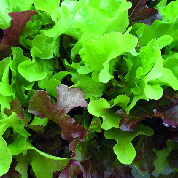Johnsons Seeds Lettuce Salad Bowl Seed