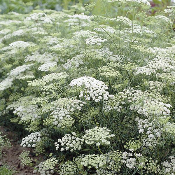 Ammi Majus From Johnsons Plants